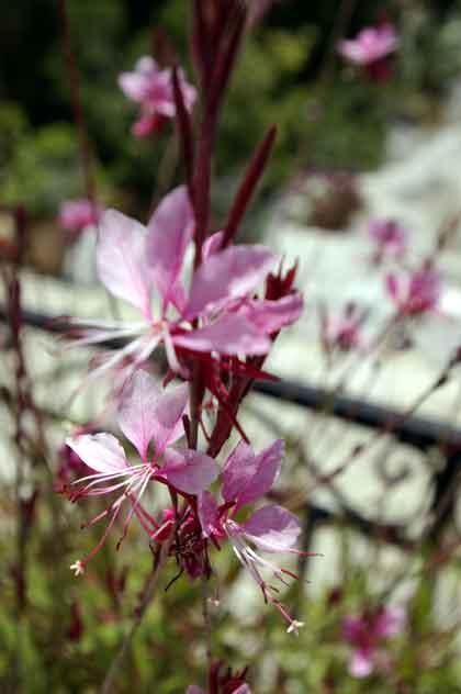 välimeren kukkia