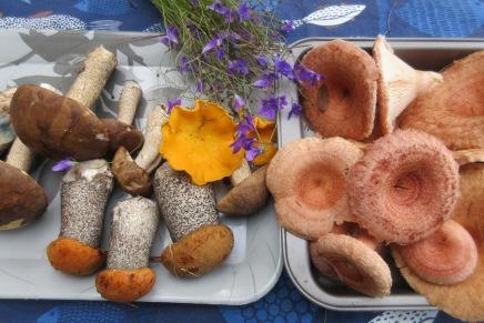 sieniä – sieniä